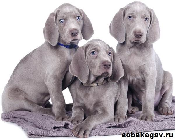 Веймаранер-собака-Описание-особенности-уход-и-цена-веймаранера-5