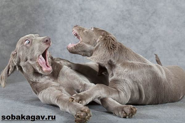 Веймаранер-собака-Описание-особенности-уход-и-цена-веймаранера-6