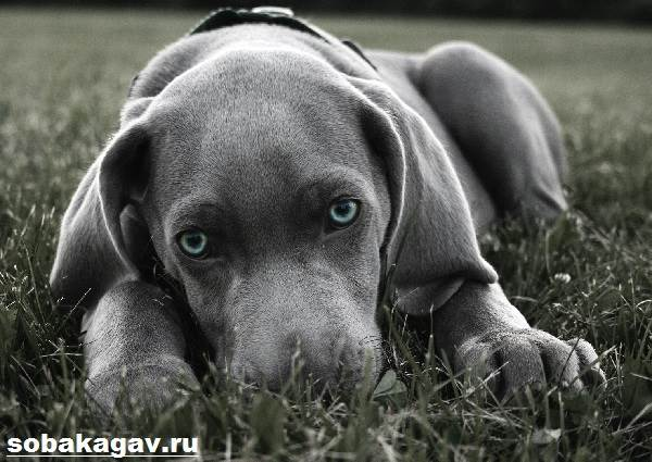 Веймаранер-собака-Описание-особенности-уход-и-цена-веймаранера-8