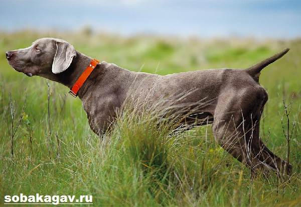 Веймаранер-собака-Описание-особенности-уход-и-цена-веймаранера-9