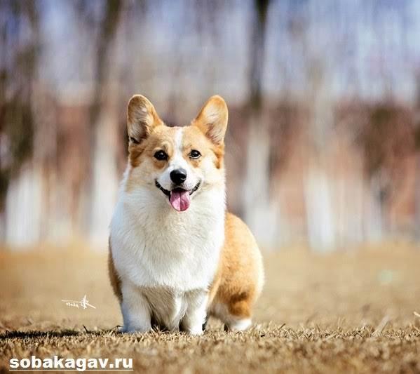 Вельш-корги-пемброк-собака-Описание-уход-и-цена-вельш-корги-пемброк-10