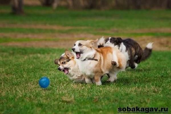 Вельш-корги-пемброк-собака-Описание-уход-и-цена-вельш-корги-пемброк-11