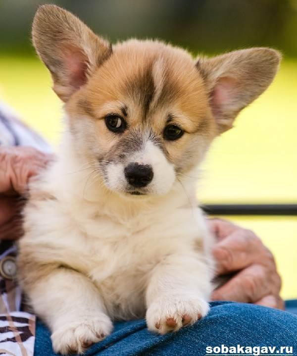Вельш-корги-пемброк-собака-Описание-уход-и-цена-вельш-корги-пемброк-12
