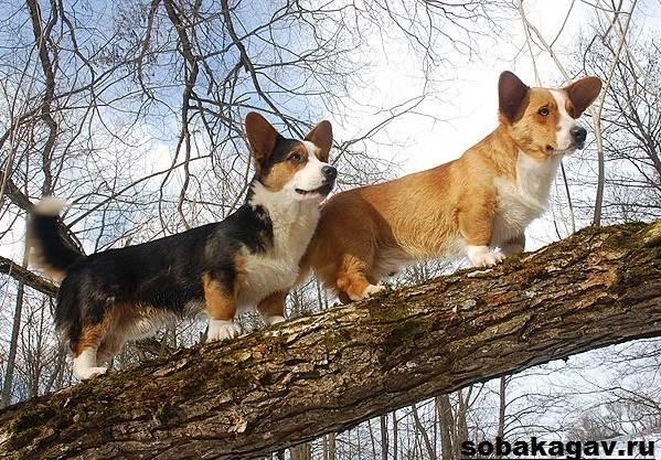 Вельш-корги-пемброк-собака-Описание-уход-и-цена-вельш-корги-пемброк-5