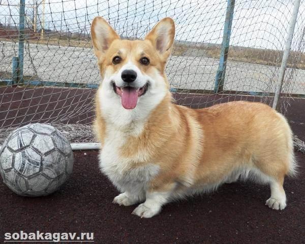 Вельш-корги-пемброк-собака-Описание-уход-и-цена-вельш-корги-пемброк-6