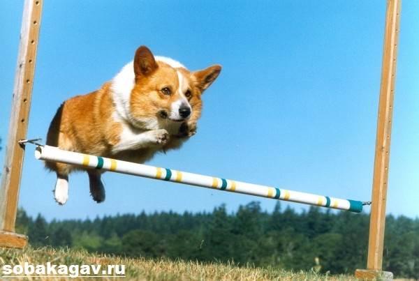 Вельш-корги-пемброк-собака-Описание-уход-и-цена-вельш-корги-пемброк-7