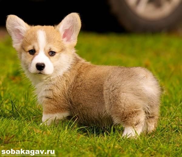 Вельш-корги-пемброк-собака-Описание-уход-и-цена-вельш-корги-пемброк-8