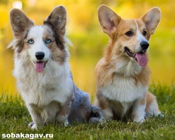 Вельш-корги-пемброк-собака-Описание-уход-и-цена-вельш-корги-пемброк-9