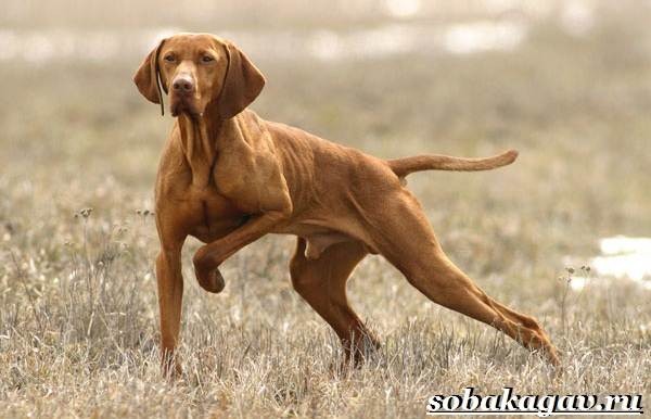 Венгерская-выжла-собака-Описание-особенности-уход-и-цена-венгерской-выжлы-1