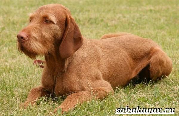 Венгерская-выжла-собака-Описание-особенности-уход-и-цена-венгерской-выжлы-10