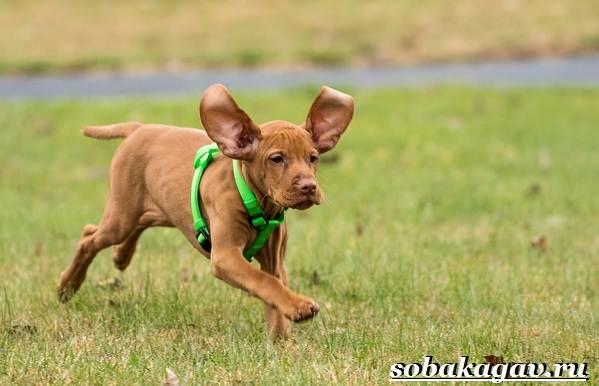 Венгерская-выжла-собака-Описание-особенности-уход-и-цена-венгерской-выжлы-12
