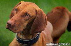 Венгерская выжла собака. Описание, особенности, уход и цена венгерской выжлы