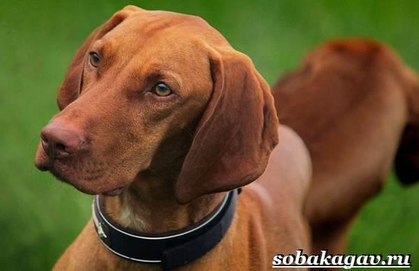 Венгерская-выжла-собака-Описание-особенности-уход-и-цена-венгерской-выжлы-2