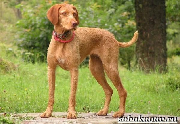 Венгерская-выжла-собака-Описание-особенности-уход-и-цена-венгерской-выжлы-4