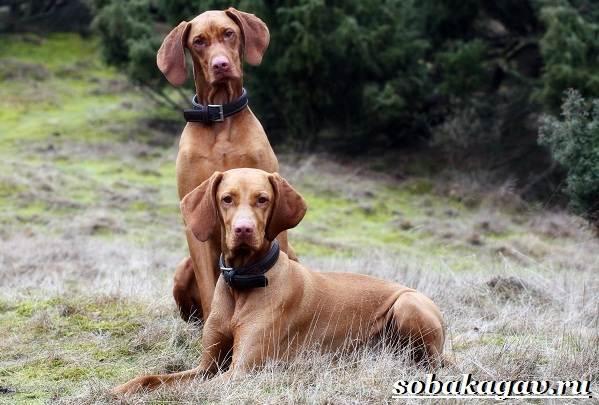 Венгерская-выжла-собака-Описание-особенности-уход-и-цена-венгерской-выжлы-6