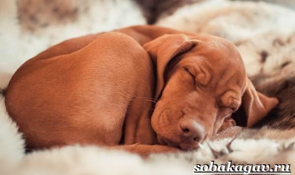 Венгерская-выжла-собака-Описание-особенности-уход-и-цена-венгерской-выжлы-9