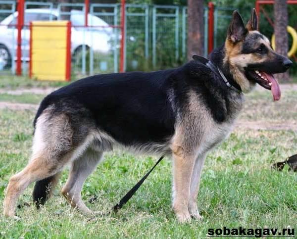 Восточно-европейская-овчарка-собака-Описание-особенности-уход-и-цена-породы-1