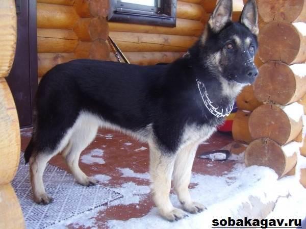 Восточно-европейская-овчарка-собака-Описание-особенности-уход-и-цена-породы-10
