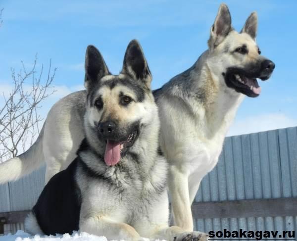 Восточно-европейская-овчарка-собака-Описание-особенности-уход-и-цена-породы-2