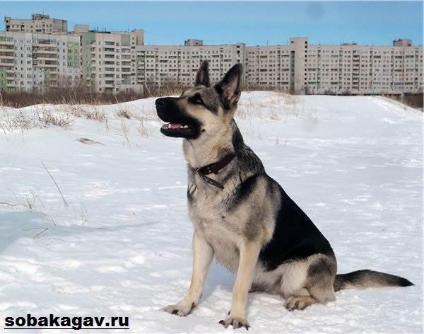 Восточно-европейская-овчарка-собака-Описание-особенности-уход-и-цена-породы-3