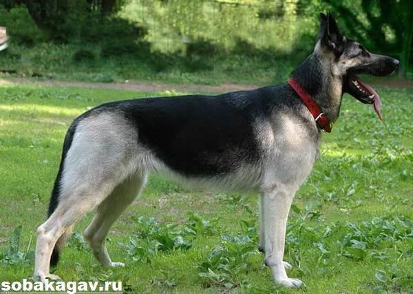 Восточно-европейская-овчарка-собака-Описание-особенности-уход-и-цена-породы-4