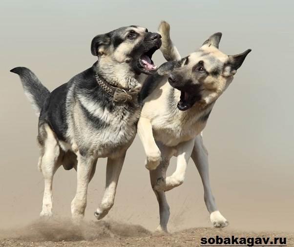 Восточно-европейская-овчарка-собака-Описание-особенности-уход-и-цена-породы-5