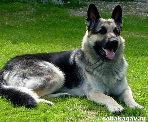 Восточно-европейская-овчарка-собака-Описание-особенности-уход-и-цена-породы-9