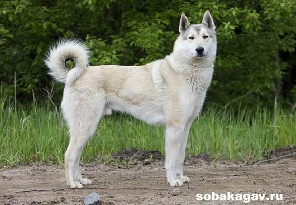 Западно-сибирская-лайка-собака-Описание-особенности-уход-и-цена-породы-3