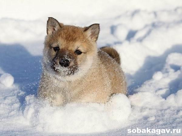 Западно-сибирская-лайка-собака-Описание-особенности-уход-и-цена-породы-7