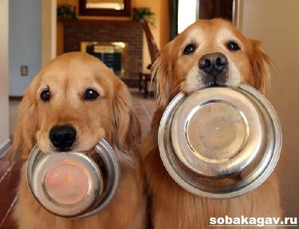 Золотистый-ретривер-собака-Описание-особенности-уход-и-цена-золотистого-ретривера-11