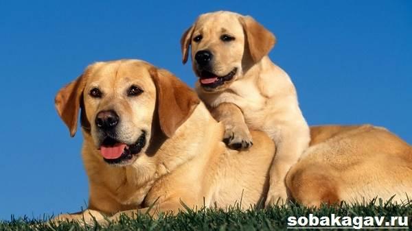 Золотистый-ретривер-собака-Описание-особенности-уход-и-цена-золотистого-ретривера-12