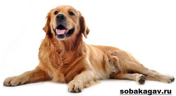 Золотистый-ретривер-собака-Описание-особенности-уход-и-цена-золотистого-ретривера-4