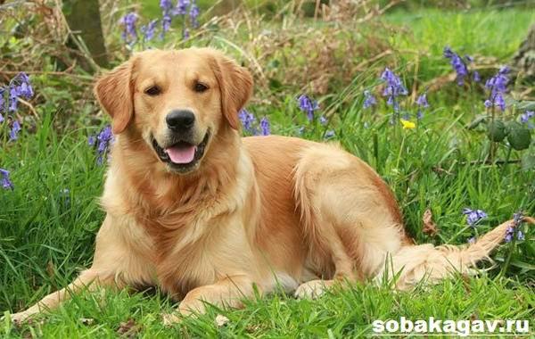 Золотистый-ретривер-собака-Описание-особенности-уход-и-цена-золотистого-ретривера-5