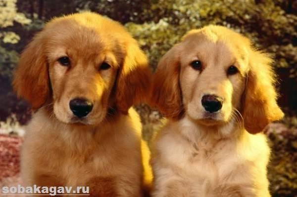 Золотистый-ретривер-собака-Описание-особенности-уход-и-цена-золотистого-ретривера-7