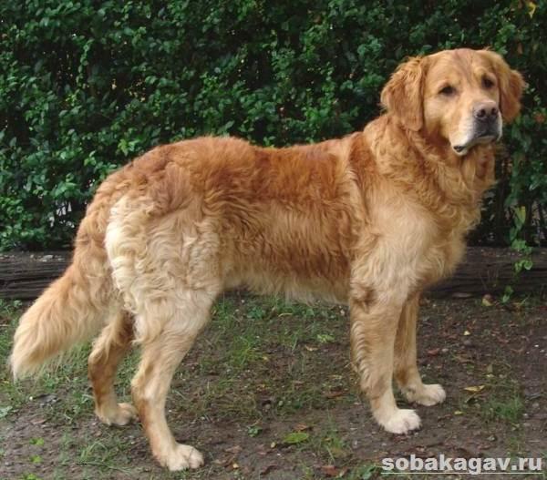 Золотистый-ретривер-собака-Описание-особенности-уход-и-цена-золотистого-ретривера-8