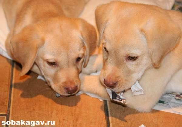 Золотистый-ретривер-собака-Описание-особенности-уход-и-цена-золотистого-ретривера-9