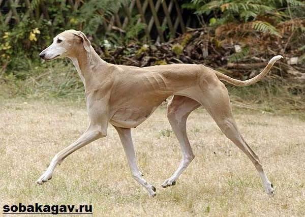 Азавак-собака-Описание-особенности-уход-и-содержание-породы-азавак-1