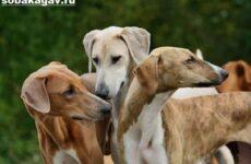 Азавак собака. Описание, особенности, уход и содержание породы азавак