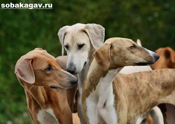 Азавак-собака-Описание-особенности-уход-и-содержание-породы-азавак-10