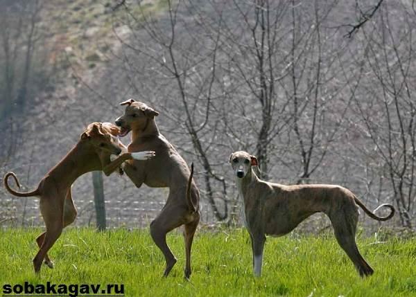 Азавак-собака-Описание-особенности-уход-и-содержание-породы-азавак-3