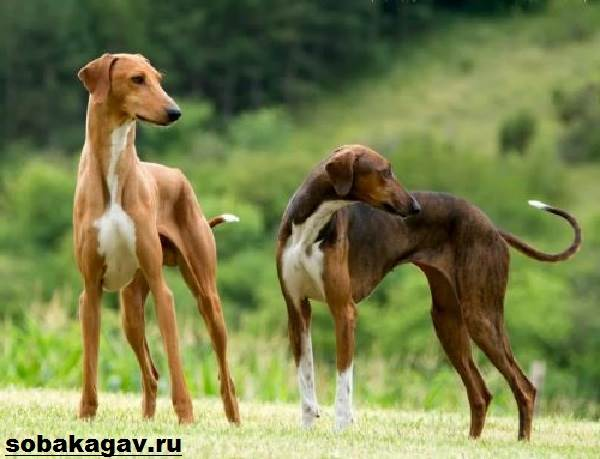 Азавак-собака-Описание-особенности-уход-и-содержание-породы-азавак-9