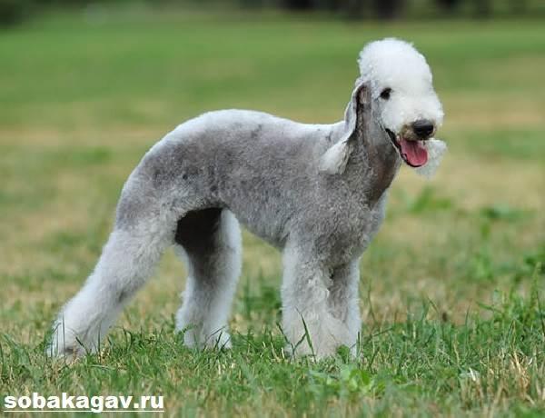 Бедлингтон-терьер-собака-Описание-особенности-уход-и-цена-за-породой-1
