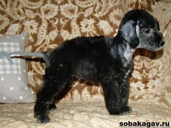 Бедлингтон-терьер-собака-Описание-особенности-уход-и-цена-за-породой-10