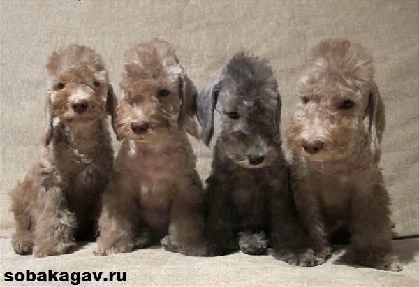 Бедлингтон-терьер-собака-Описание-особенности-уход-и-цена-за-породой-11