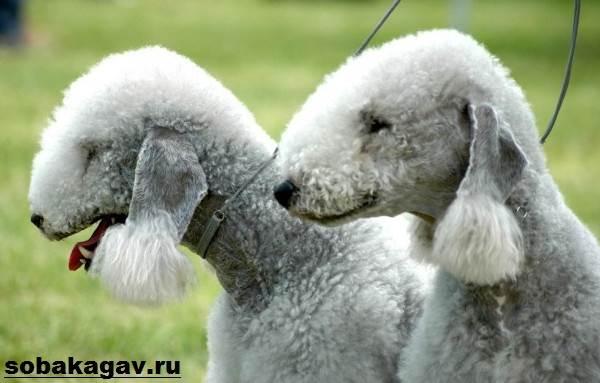 Бедлингтон-терьер-собака-Описание-особенности-уход-и-цена-за-породой-2
