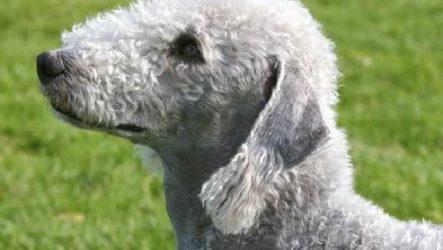 Бедлингтон терьер собака. Описание, особенности, уход и цена за породой