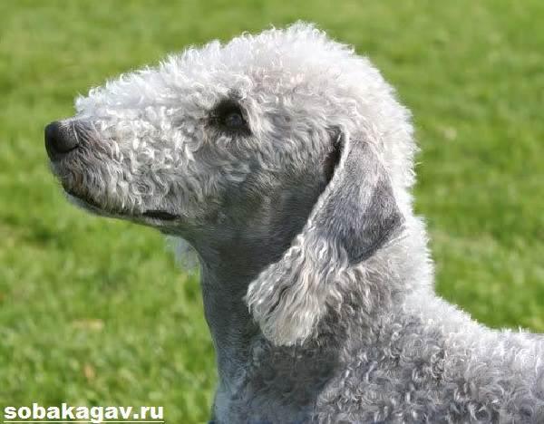 Бедлингтон-терьер-собака-Описание-особенности-уход-и-цена-за-породой-3