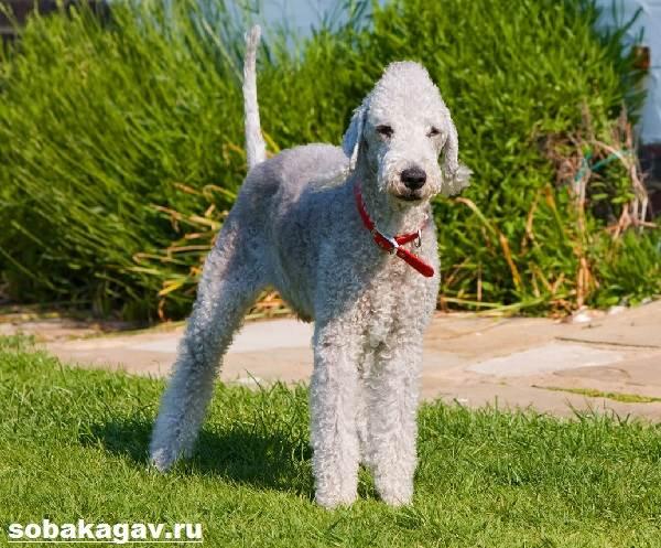 Бедлингтон-терьер-собака-Описание-особенности-уход-и-цена-за-породой-4