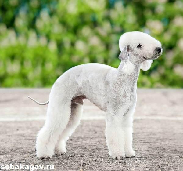 Бедлингтон-терьер-собака-Описание-особенности-уход-и-цена-за-породой-5