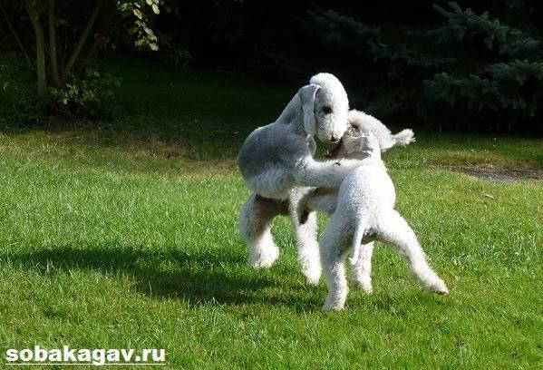 Бедлингтон-терьер-собака-Описание-особенности-уход-и-цена-за-породой-6